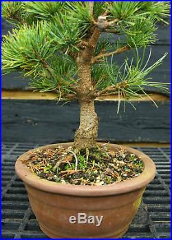 Bonsai Tree Five Needle White Pine WP-201A