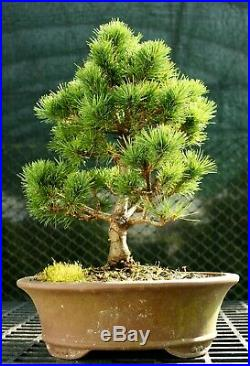 Bonsai Tree Five Needle White Pine WP-226C