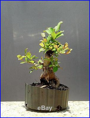 Bonsai Tree, Flowering Crape Myrtle ~ #2 ~ Mame tree, Bright Pink Color Sioux