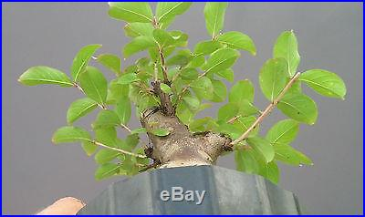 Bonsai Tree, Flowering Crape Myrtle, Mame tree, Bright Pink Color Sioux