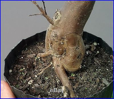 Bonsai Tree, Flowering Crape Myrtle, Mame tree, Bright Pink Color Sioux #5