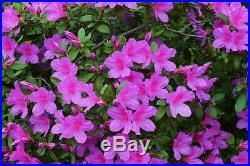 Bonsai Tree, Flowering Formosa Azalea, Incredible Root Flare, Purple Flowers