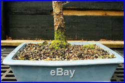 Bonsai Tree Golden Larch GL-1130A