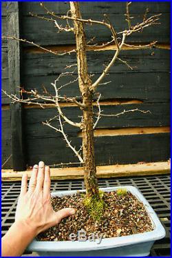 Bonsai Tree Golden Larch GL-1130B