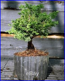 Bonsai Tree Hinoki Cypress HCB1G-809A