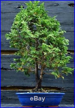 Bonsai Tree Hinoki Cypress HC-1030D