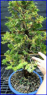 Bonsai Tree Hinoki Cypress HC-1030E