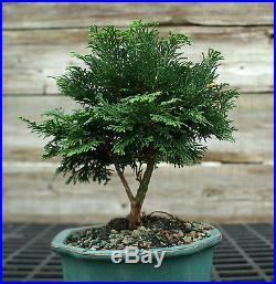 Bonsai Tree Hinoki Cypress HC-1104B