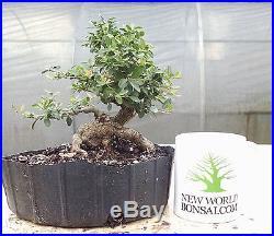 Bonsai Tree, Ilex Shilling, Ilex Vomitoria'nana', Aged Quality Prebonsai! #18