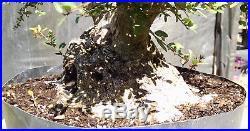 Bonsai Tree, Ilex Shilling, Ilex Vomitoria'nana', Massive Sumo Style Prebonsai