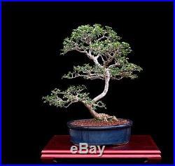 Bonsai Tree Indoor/outdoor Catlin Elm In Glazed Clay Pot