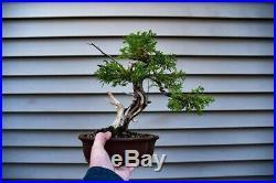 Bonsai Tree Itoigawa Shimpaku Juniper