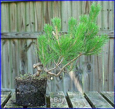 Bonsai Tree Japanese Black Pine JBP1G-705A