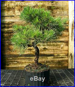 Bonsai Tree Japanese Black Pine JBP3G-1026A
