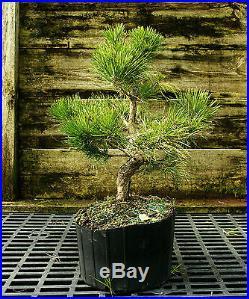 Bonsai Tree Japanese Black Pine JBP3G-118C