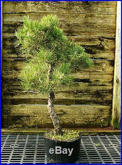 Bonsai Tree Japanese Black Pine JBP3G-118D