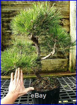 Bonsai Tree Japanese Black Pine JBP3G-118E
