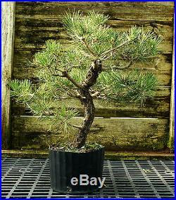 Bonsai Tree Japanese Black Pine JBP3G-118F