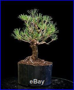 Bonsai Tree Japanese Black Pine JBP3G-1216A