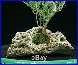 Bonsai Tree Japanese Black Pine JBPLR-1028