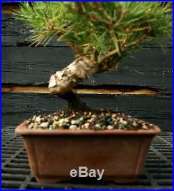 Bonsai Tree Japanese Black Pine JBP-1215E