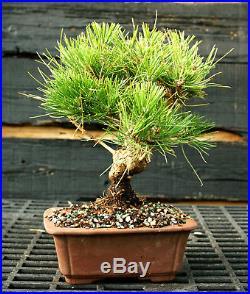 Bonsai Tree Japanese Black Pine JBP-1215F