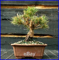 Bonsai Tree Japanese Black Pine JBP-1215H