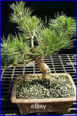 Bonsai Tree Japanese Black Pine JBP-226E