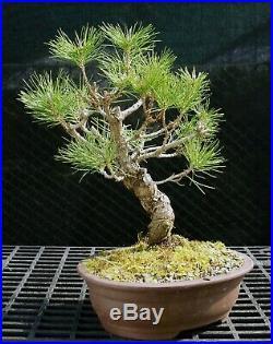 Bonsai Tree Japanese Black Pine JBP-226F