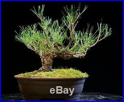 Bonsai Tree Japanese Black Pine JBP-226G