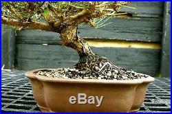Bonsai Tree Japanese Black Pine JBP-417D