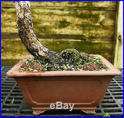 Bonsai Tree Japanese Black Pine JBP-815E