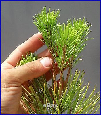 Bonsai Tree, Japanese Black Pine, Pinus thumbergii, Starter Tree Large Size