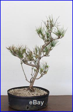 Bonsai Tree, Japanese Black Pine, Pinus thunbergii, Big Prebonsai, Nice Shape