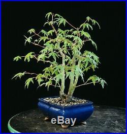 Bonsai Tree Japanese Green Leaf Maple JMGL-626B