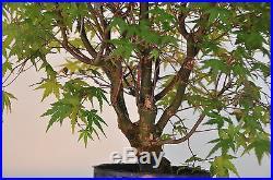 Bonsai Tree Japanese Maple