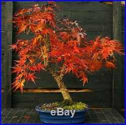 Bonsai Tree Japanese Maple Arakawa Corkbark Specimen JMAST-1130B