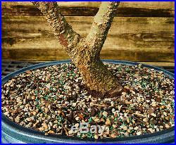 Bonsai Tree Japanese Maple Arakawa Corkbark Specimen JMAST-209A