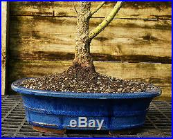 Bonsai Tree Japanese Maple Arakawa Corkbark Specimen JMAST-209D