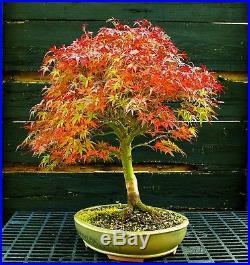 Bonsai Tree Japanese Maple Sharpes Pygmy JMSP-1105C