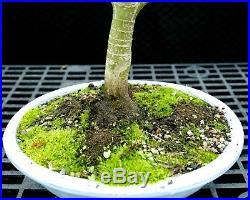Bonsai Tree Japanese Maple Sharpes Pygmy JMSP-1215A