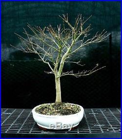 Bonsai Tree Japanese Maple Sharpes Pygmy JMSP-1215C