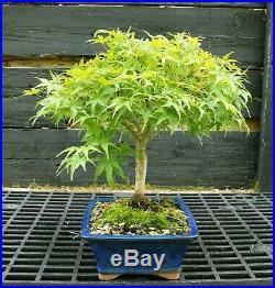 Bonsai Tree Japanese Maple Sharpes Pygmy JMSP-429B