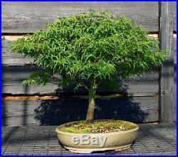 Bonsai Tree Japanese Maple Sharpes Pygmy JMSP-807A