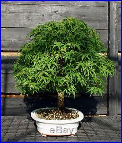 Bonsai Tree Japanese Maple Sharpes Pygmy Specimen JMSPST-807A