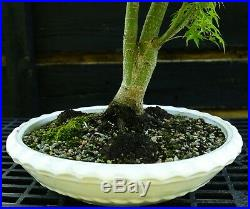 Bonsai Tree Japanese Maple Sharpes Pygmy Specimen JMSPST-918A