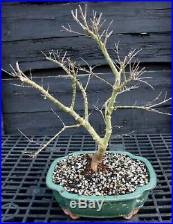 Bonsai Tree Japanese Maple Shishigashira JMSG-129B