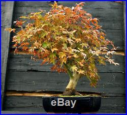 Bonsai Tree Japanese Maple Specimen JMST-1105A
