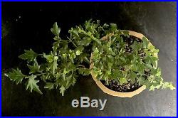 Bonsai Tree Japanese Musk Maple Mame Just 5 3/4 Tall, High Fired, Chinese Pot