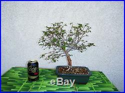 Bonsai Tree Japanese Zelkova
